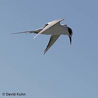 0711-0811  Least Tern in Flight Preparing to Dive, Sterna antillarum [See 0711-0812, 0711-0813 for flight sequence] © David Kuhn/Dwight Kuhn Photography