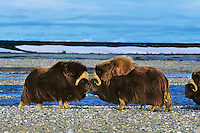 MB406  Muskoxen bulls butting heads--dominance behavior.  Arctic Nat. Wildlife Refuge, Alaska.  Summer.