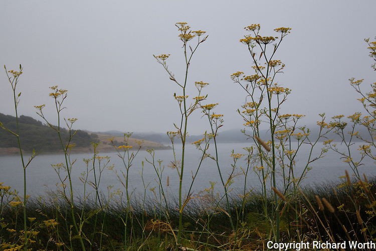 Yellow wildflowers with fog-draped Upper Crystal Springs Reservoir in the background.