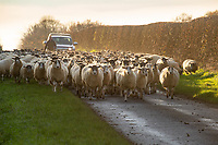 23.11.2020 Moving ewes onto sugar beet tops<br /> ©Tim Scrivener Photographer 07850 303986<br />      ....Covering Agriculture In The UK....