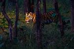 India, Madhya Pradesh, Pench National Park , tiger (Panthera tigris), endangered