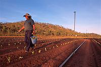 Oscar Bugno (front) and Bruno Fantin Hand Planting Seedlings,  Bugno's Farm, Dimbulah, 2003.