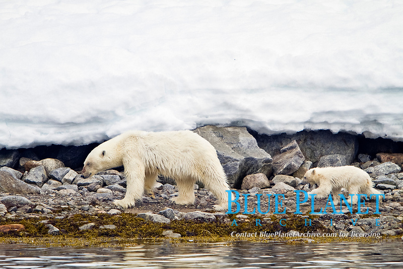 Mother polar bear, Ursus maritimus, with COY, cub-of-year, in Holmabukta on the northwest coast of Spitsbergen in the Svalbard Archipelago, Norway, Atlantic Ocean, polar bear, Ursus maritimus