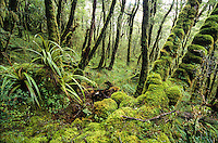 Juicy green, in dense moss cloaked native forest on Heaphy Track, Kahurangi National Park, Nelson Region, New Zealand
