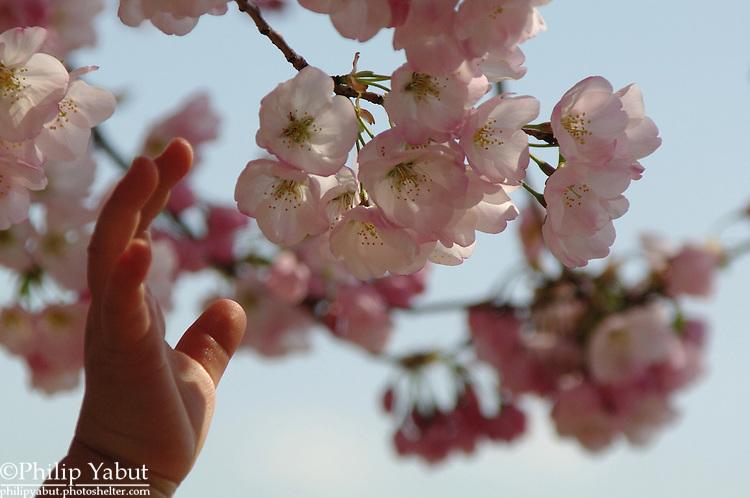 2013 National Cherry Blossom Festival