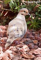 0611-1109  Mourning Dove in Arizona Desert (Sonoran Desert), Zenaida macroura  © David Kuhn/Dwight Kuhn Photography