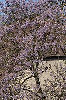 Blauglockenbaum, Chinesischer Blauglockenbaum, Kaiserbaum, Kaiser-Paulownie, Kiribaum, Paulownia tomentosa, Paulownia imperialis, princesstree, foxglove-tree, empress tree, kiri, Le paulownia, Arbre d'Anna Paulowna