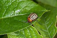 Kartoffelkäfer, Kartoffel-Käfer frisst an Kartoffel-Pflanzen, Pflanzenschädling, Leptinotarsa decemlineata, Colorado potato beetle, Colorado beetle, ten-striped spearman, ten-lined potato beetle, potato bug