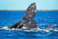 California gray whale, Eschrichtius robustus, courtship behavior in the calm waters of San Ignacio Lagoon, Baja, Mexico, Pacific Ocean