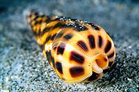 Augur shell, Terebra ornata, Cocos Island, Costa Rica, Pacific Ocean