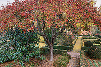 Crataegus phaenopyrum, Hawthorn (Washington Thorn tree) with red berries in autumn formal garden