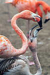 caribbean flamingo mother feeding baby, close-up shot, vertical