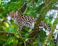 margay, Leopardus wiedii, climbing tree, in rainforest, Arenal, Puntarenas Province, Costa Rica