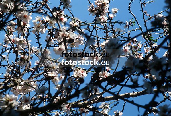 white almond blossoms against deep blue sky in Majorca<br /> <br /> almendro en flor con cielo azul en Mallorca <br /> <br /> weiße Mandelblüten gegen tief blauen Himmel auf Mallorca<br /> <br /> bot.: Prunus dulcis / Prunus amygdalus<br /> <br /> 3533 x 2402 px<br /> 150 dpi: 59,83 x 40,67 cm<br /> 300 dpi: 29,91 x 20,34 cm<br /> Original: 35 mm slide transparancy