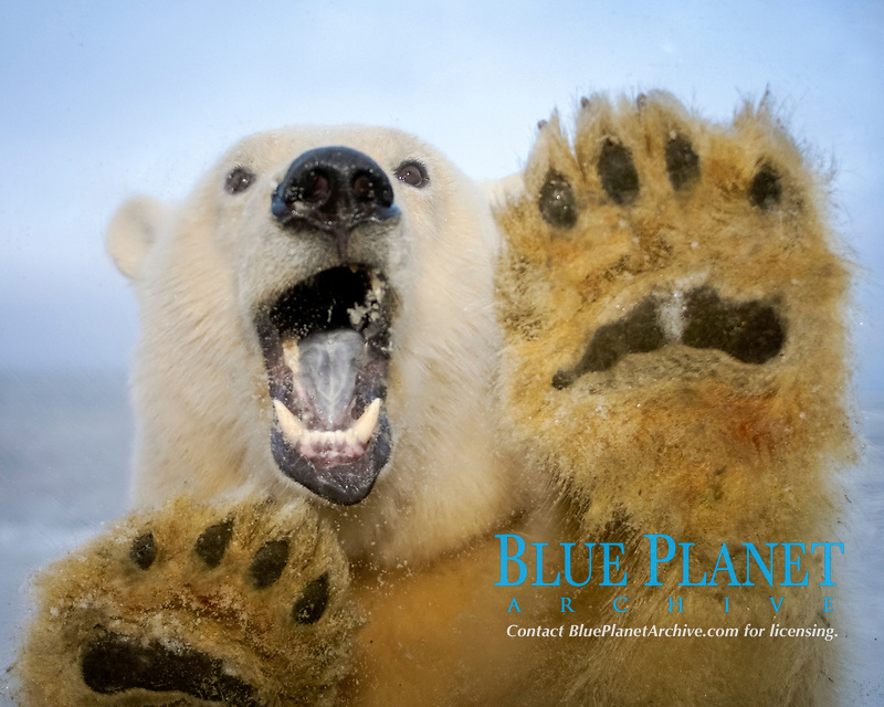 polar bear, Ursus maritimus, curiously looks in truck window, 1002 coastal plain of the Arctic National Wildlife Refuge, Alaska, polar bear, Ursus maritimus