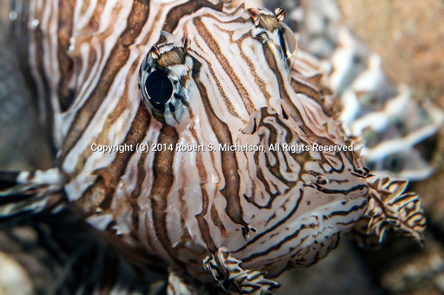 Red Lionfish looking at camera, close-up