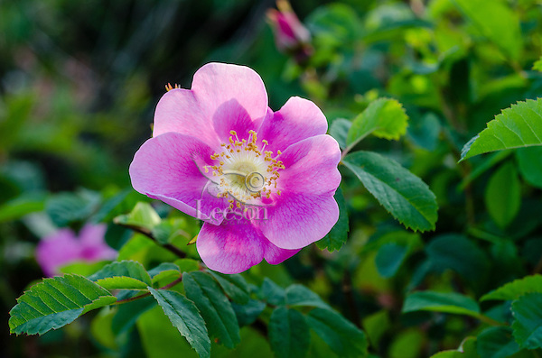Wild Rose or Nootka Rose (Rosa nutkana).  Common wildflower of Pacific Northwest.  May-June.