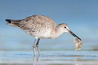Willet (Tringa semipalmata) feeding on horseshoe crab pre. Bunche Beach Preserve, Florida. March.