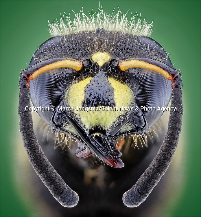Pictured: Macro detail of a wasp which appears to looks sad with droopy ears. <br /> <br /> A set of close ups show the fascinating human traits of insects.   The shots show what appear to be the grin of a cheeky hornet, a red palm weevil warming up for a boxing match and a fluffy spider, amongst others.<br /> <br /> Science photographer Marco Jongsma photographing insects in an attempt to combat his fear of the bugs by showing their features in detail unattainable to the naked eye.   Mr Jongsma took the photos in the garden and nature park of his home fishing village of Lemmer, in the Netherlands, and says his aversion to creepy-crawlies began when he reacted badly to a wasp sting as a young man.   SEE OUR COPY FOR DETAILS<br /> <br /> Please byline: Marco Jongsma/Solent News<br /> <br /> © Marco Jongsma/Solent News & Photo Agency<br /> UK +44 (0) 2380 458800