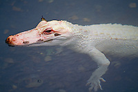 Young albino American Alligator (Alligator mississippiensis)