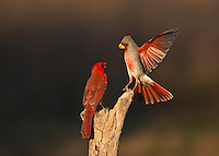Pyrrhuloxia {Cardinalis sinuatus) and Northern Cardinal {Cardinalis cardinalis), males, Starr County, Rio Grande Valley, South Texas, USA
