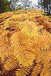 Bracken (Pteridium sp.) changing to autumn colours. Caledonian pine forest, Glen Affric, Scottish Highlands. Scotland. October.