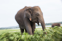 An elephant in the Minneriya National Park, in North Central Sri Lanka, famed in Asia as a gathering place for wild Asian Elephants.
