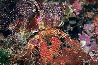 hermit crab, Aniculus miyakei, Izu ocean park, Sagami bay, Izu peninsula, Shizuoka, Japan, Pacific Ocean