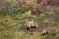 Grizzly bear sow and cub of the year forage for berries on the tundra in Sable Pass, Denali National Park, Interior, Alaska.