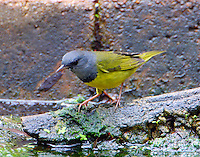 Adult male mourning warbler at water feature in fall migration