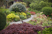 Gravel pathway through colorful cottage garden with Acer palmatum 'Red Select' in foreground. Sally Robertson Garden.