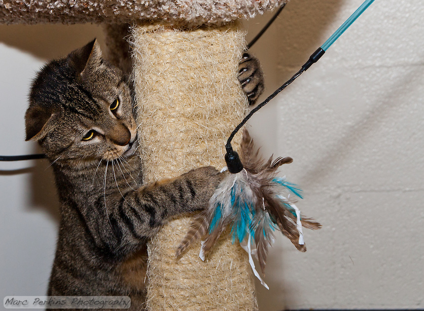 Trista, a three year old female short-haired brown tabby cat with green eyes (and a white chin), playing with a feather toy from behind a sisal-wrapped cat tree post.   Trista has a face that looks somewhat like a mountain lion to me; a bit more elongated than your typical domesticated cat.  Trista is up for adoption at Miss Kitty's Rescue in Costa Mesa, CA.  This picture was taken pro bono for Miss Kitty's Rescue to help them advertise the cats for adoption.