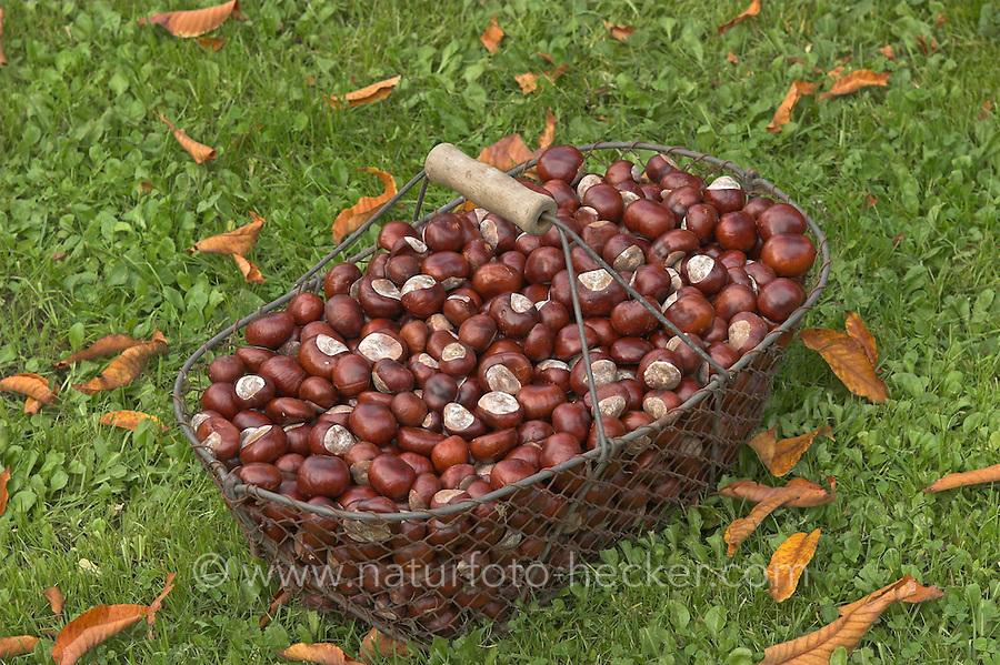 Gewöhnliche Rosskastanie, Roßkastanie, Reife Früchte in einem Drahtkorb, Ross-Kastanie, Roß-Kastanie, Kastanie, Ernte, Aesculus hippocastanum, Horse Chestnut, Marronnier d`Inde