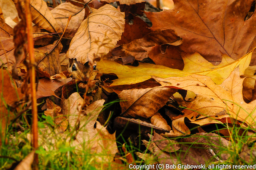 Eastern Chipmunk, Tamias Striatus, camouflaged and hiding in leaves at  Five Rivers Environmental Education Center, Delmar, New York
