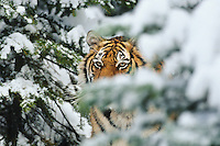 Siberian Tiger (Panthera tigris) in winter.