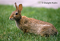 MA24-013z  Cottontail Rabbit  - Sylvilagus floridanus