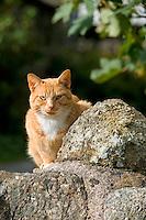 Ginger farm cat sitting on a stone wall, Cumbria.....Copyright..John Eveson, Dinkling Green Farm, Whitewell, Clitheroe, Lancashire. BB7 3BN.01995 61280. 07973 482705.j.r.eveson@btinternet.com.www.johneveson.com