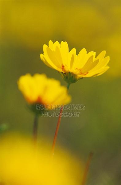 Coreopsis, Coreopsis tinctoria, blooming, Willacy County, Rio Grande Valley, Texas, USA, April 2004