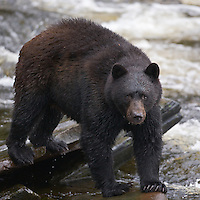 Fishing is easy for a Black Bear at Neets Bay, Alaska, sight of a salmon hatchery, August 2007