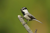 Vocalizing Mountain Chickadee (Poecile gambeli). Yakima County, Washington. May.