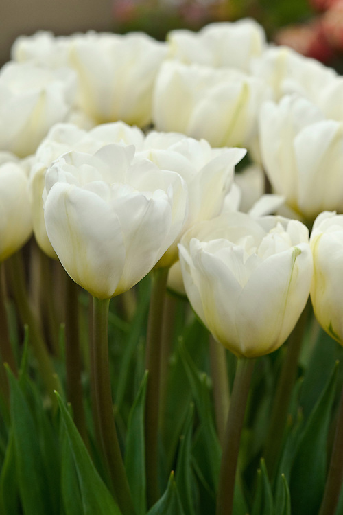 Tulip 'White Touche', a pure white double with green flames inroduced by Bloms Bulbs at Chelsea Flower Show, 2009.