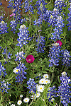 Winecups and Bluebonnets