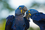 Two hyacinth macaws in the Pantanal, Mato Grosso, Brazil.
