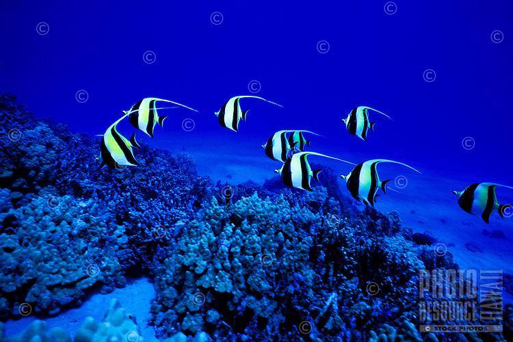 The Moorish Idol (Zanclus cornatus) is one of Hawaii's more colorful reef fishes. Hawaiian name is ( Kihikihi ).