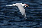 Elegant Tern in Flight with Fish, Bolsa Chica Wildlife Refuge, Southern California
