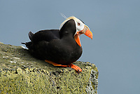 Tufted Puffin (Fratercula cirrhata). St. Paul Island, Alaska. July.