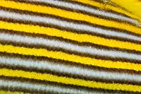 Schooling Yellow-ribbon sweetlips (Plectorhinchus polytaenia) Raja Ampat, West Papua, Indonesia, Pacific Ocean | Goldband-S√º√?lippe (Plectorhinchus polytaenia) Raja Ampat, West Papua, Indonesien, Pazifischer Ozean