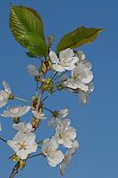 Pflaume, Kulturpflaume, Kultur-Pflaume, Zwetsche, Zwetschge, Obst, Obstbaum, Blüten, Prunus domestica, Plum