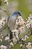 Western Scrub-Jay (Aphelocoma californica), adult perched in blooming Mexican Plum  (Prunus mexicana), Hill Country, Central Texas, USA