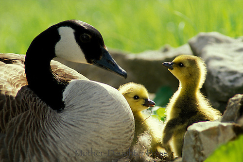 Mother Canada goose and gosling look deeply in a moment of connection or understanding perhaps, Midwest USA